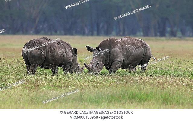 White Rhinoceros, ceratotherium simum, Youngs fighting, Nakuru Park in Kenya, Real Time