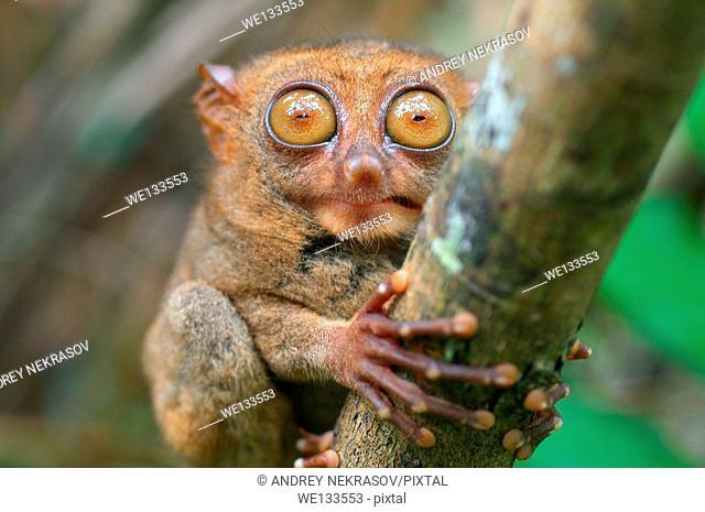 portrait Philippine tarsier (Carlito syrichta) island Bohol, Philippines, Southeast Asia