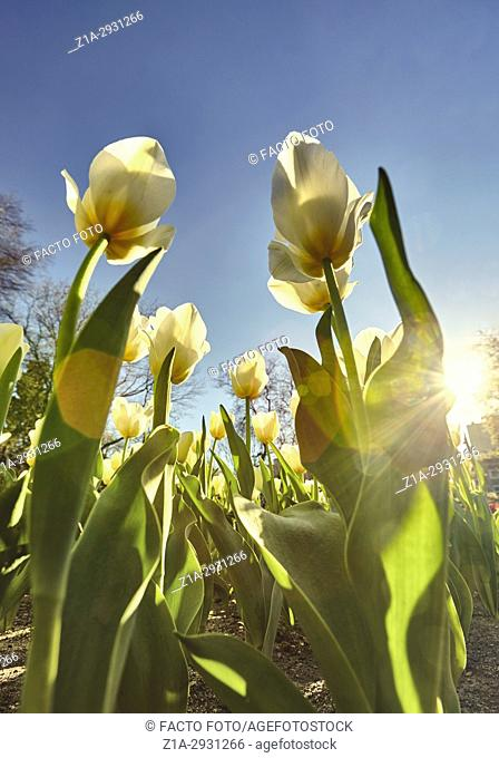 Tulips at the Royal Botanical Garden. Madrid. Spain
