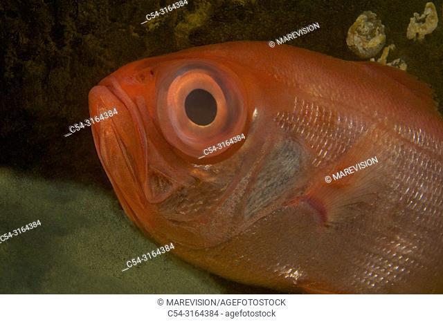 Golden Eye Perch. Red bream. Alfonsino (Beryx splendens). Eastern Atlantic. Galicia. Spain. Europe