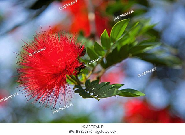 powderpuff tree (Calliandra spec.), blooming, Rwanda, Eastern Province , Akagera National Park