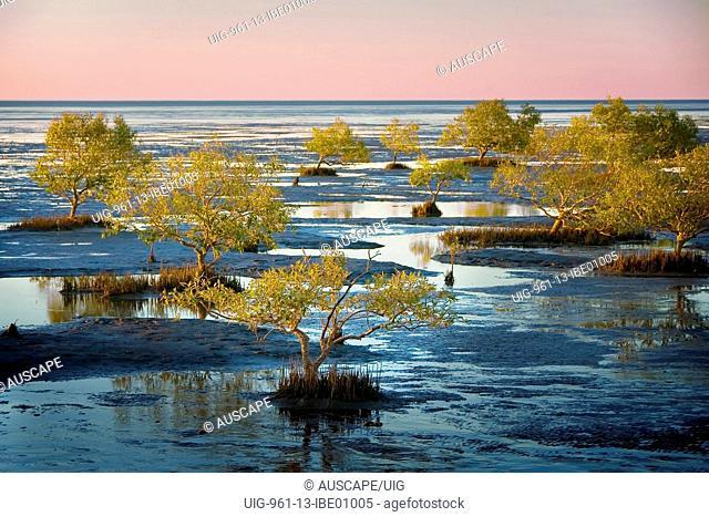 Grey mangrove on mudflats of the Gulf of Carpentaria, Karumba, Gulf Savannah, Queensland, Australia