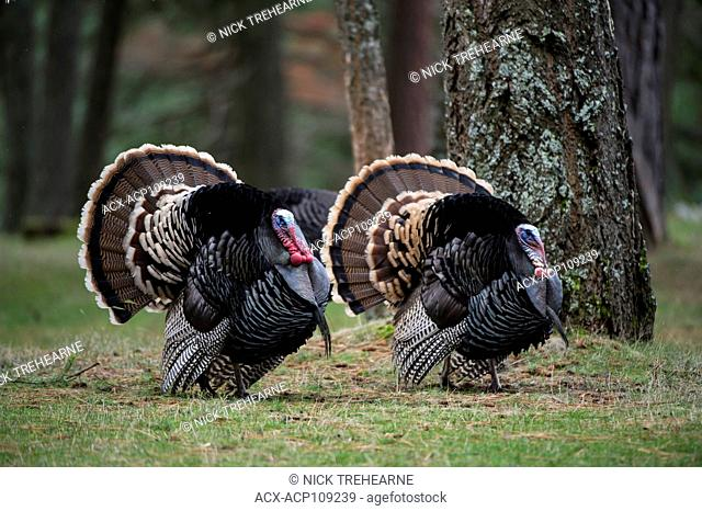 Male Merriams turkeys, Meleagris gallopavo merriami, Central Idaho, USA
