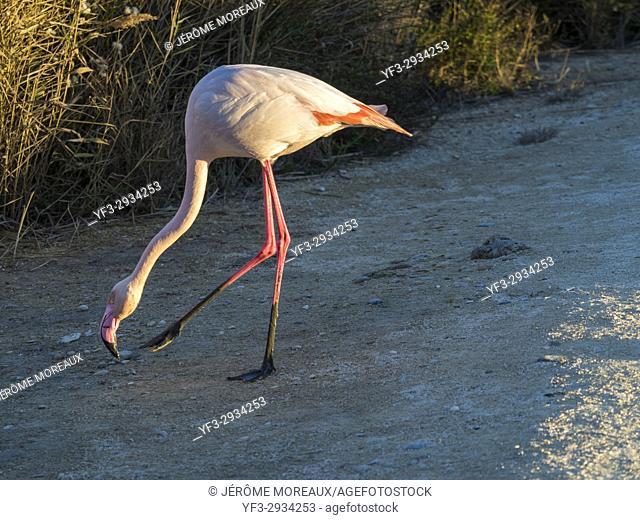 Pink flamingo in Pont de Gau Ornithologic Park, Saintes-Maries-de-la-Mer, Camargue, France
