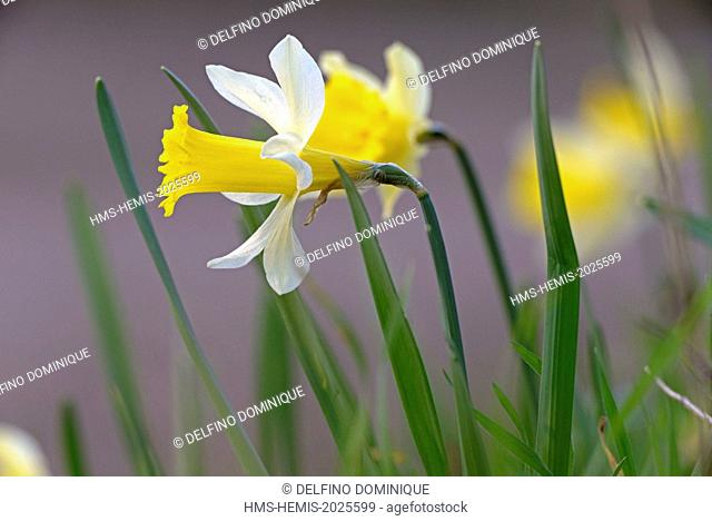 France, Doubs, flora, blooming daffodil (Narcissus) in forest