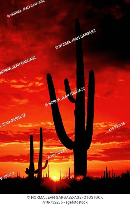 The sun sets in Saguaro National Park West in the Sonoran Desert near Tucson, Arizona, USA