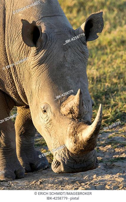 White rhinoceros or square-lipped rhinoceros (Ceratotherium simum), Portrait, Lake Nakuru National Park, Kenya