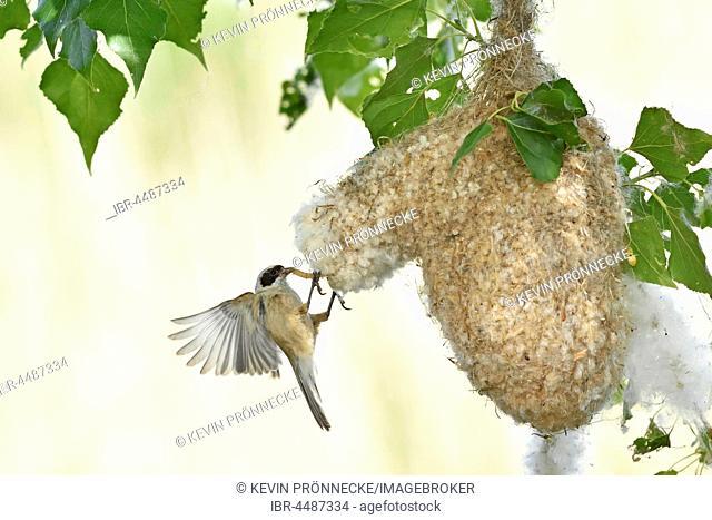 Eurasian penduline tit (Remiz pendulinus) approaching nest with food, Kötzschau, Saxony-Anhalt, Germany