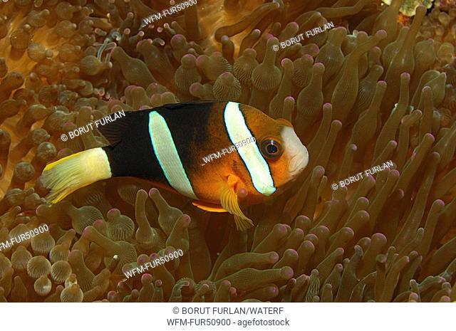 Clarks Anemonefish, Amphiprion clarkii, Alor, Lesser Sunda Islands, Indo-Pacific, Indonesia