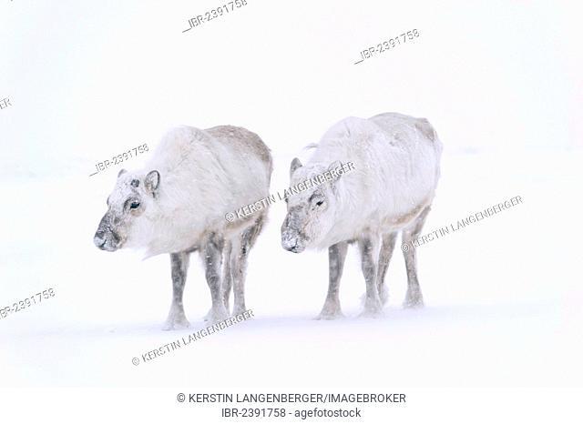Svalbard Reindeer (Rangifer tarandus platyrhynchu) without antlers in a snow storm, Adventdalen, Longyearbyen, Spitsbergen, Svalbard, Norway, Europe