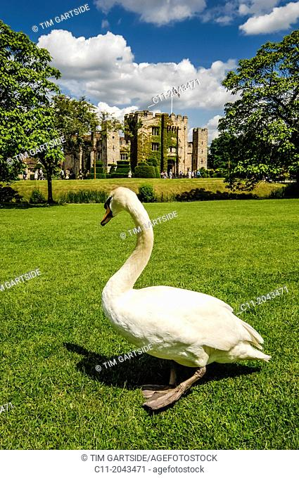 white swan infront of hever castle,edenbridge,kent,england,uk,europe