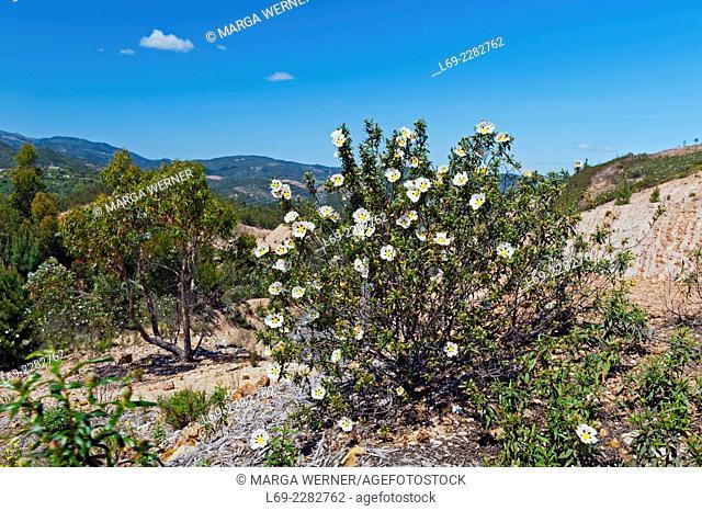 Common gum cistus, Cistus ladanifer, Serra de Monchique, Portugal, Europe