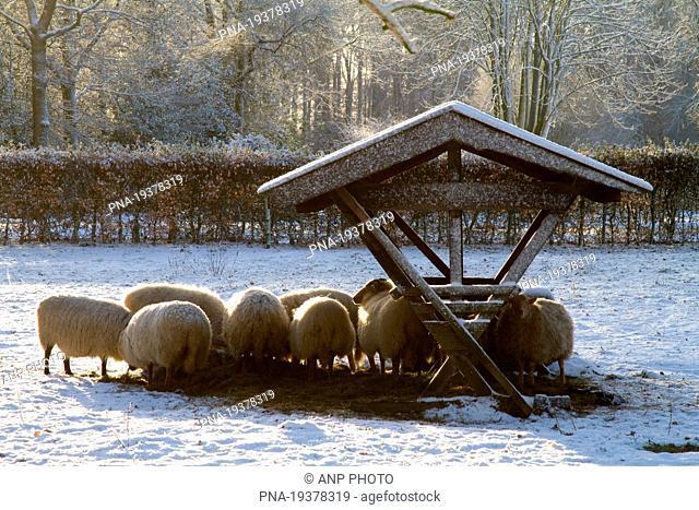 Sheep Ovis domesticus - Landgoed De Klencke, Havezate De Klencke, Oosterhesselen, Drenthe, The Netherlands, Holland, Europe