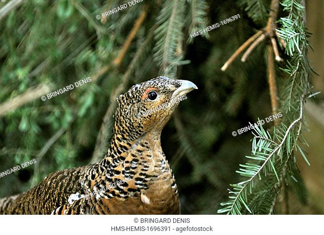 France, Moselle, Rhodes, animal park of Sainte Croix, pens, Capercaillie (Tetrao urogallus) female during courtship the male