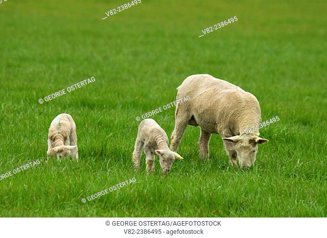 Sheep with lamb, Linn County, Oregon