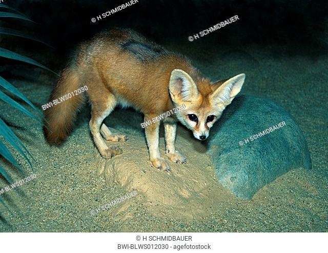 fennec fox Fennecus zerda, at night, has the largest ears of all carnivores proportional to the body