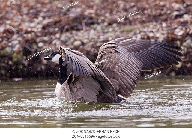 Kanadagans Branta canadensis - Canada goose Branta canadensis