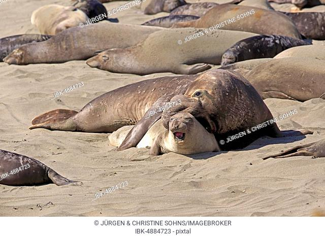 Northern Elephant Seals (Mirounga angustirostris), adult pair on the beach mating, elephant seal colony, Piedras Blancas Rookery, San Simeon