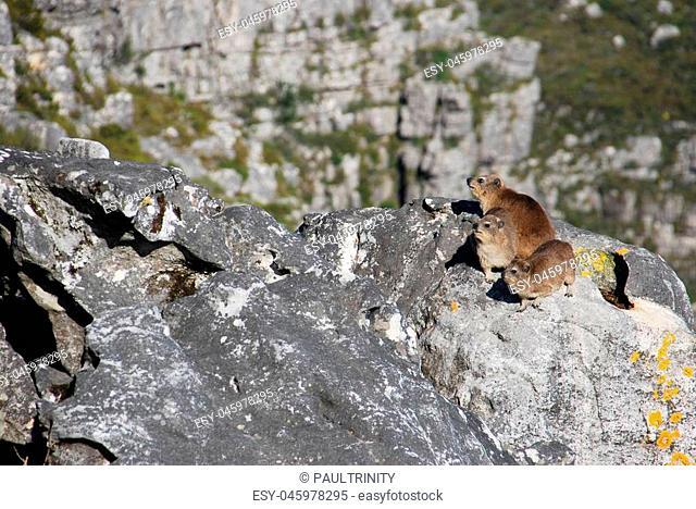 Rock hyraxes basking in the sun, Table Mountain
