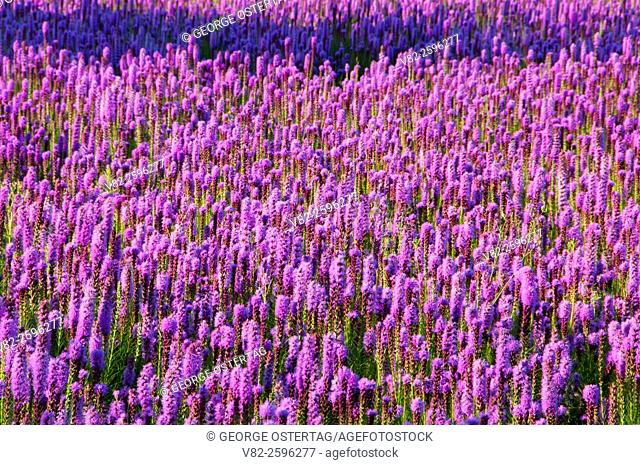 Willamette Valley farm wildflower seed field, Marion County, Oregon