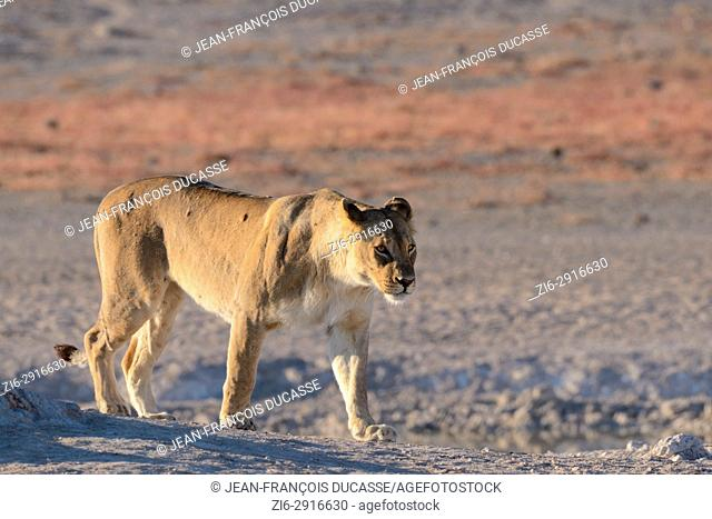 Lioness (Panthera leo) at a waterhole, walking, morning light, Etosha National Park, Namibia, Africa