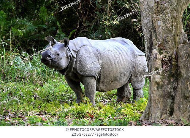 Male one Horned Rhino, Rhinoceros unicornis at Kaziranga National Park, Assam, India