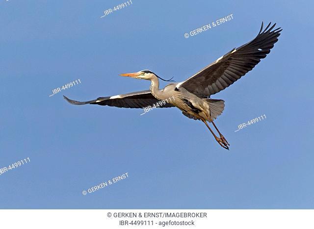 Grey Heron (Ardea cinerea), adult, in flight, Schleswig-Holstein, Germany