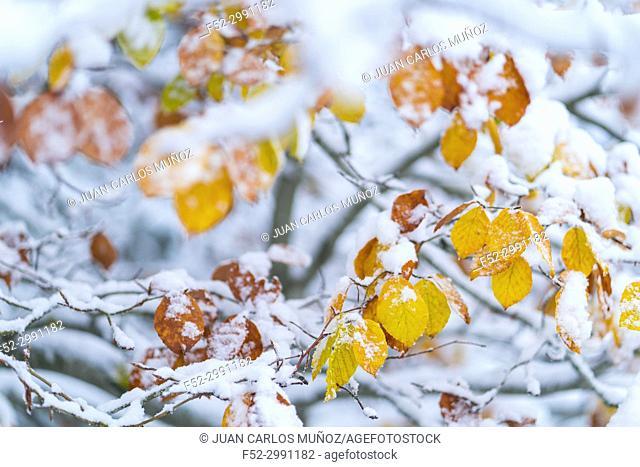 Beech (Fagus sylvatica), Snowy forest in autumn, Sierra Cebollera Natural Park, La Rioja, Spain, Europe