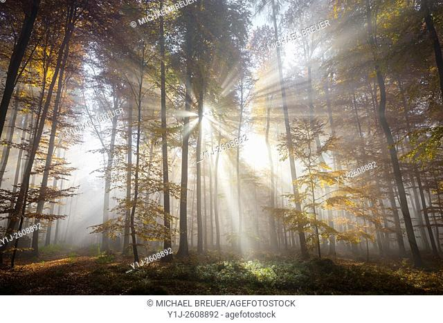 Sunbeams in beech forest in autumn, Spessart, Bavaria, Germany, Europe