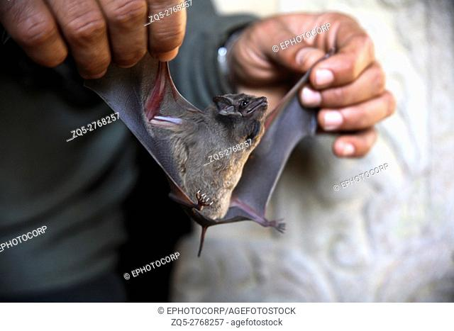 Tomb bat in the cave of Fort Bandhavgarh, Madya Pradesh, India
