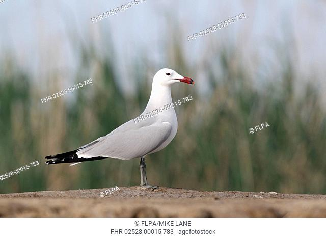 Audouins Gull Larus audouinii adult, summer plumage, standing on beach, Western Spain, april