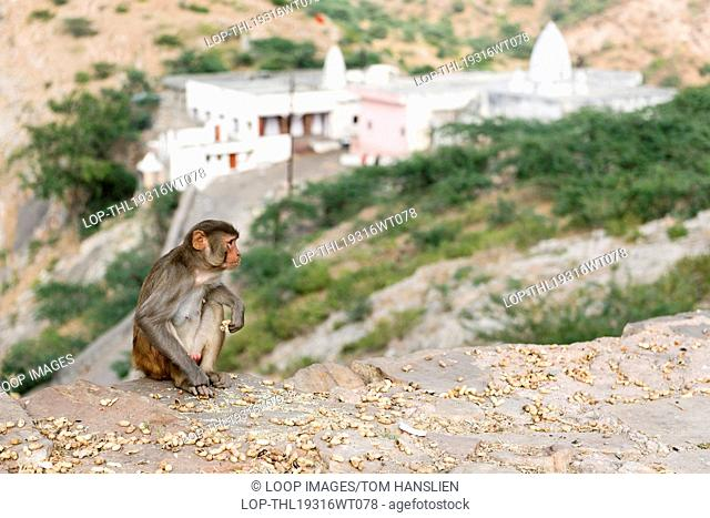 A monkey eating peanuts by Surya Mandir also referred to as the Temple Of The Sun God in Jaipur