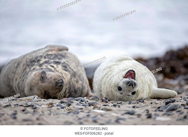 Germany, Helgoland, Duene Island, Grey seal (Halichoerus grypus) and grey seal pup lying at beach