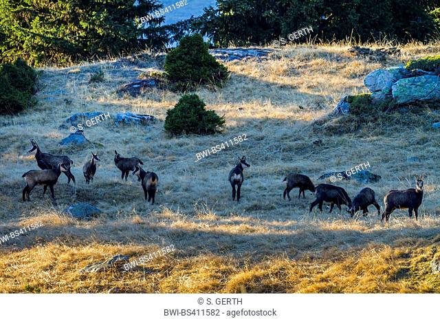 chamois (Rupicapra rupicapra), pack of chamoises on the feed in a alpine meadow in autumn, Switzerland, Valais, Riederalp