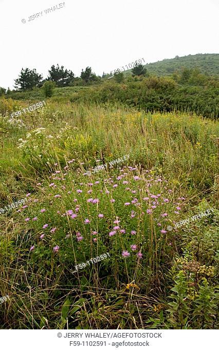 Autumn wildflowers, Shining Rock Wilderness Area, Pisgah National Forest, North Carolina, USA