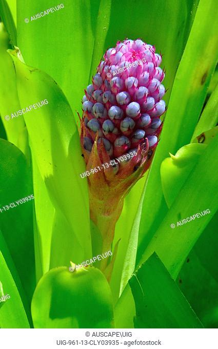 Cylinder bromeliad