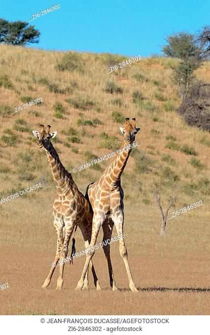 South African giraffes (Giraffa camelopardalis giraffa), two bulls in fighting position, Kgalagadi Transfrontier Park, Northern Cape, South Africa, Africa