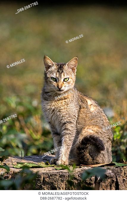 South east Asia, India,Tripura state,domestic cat