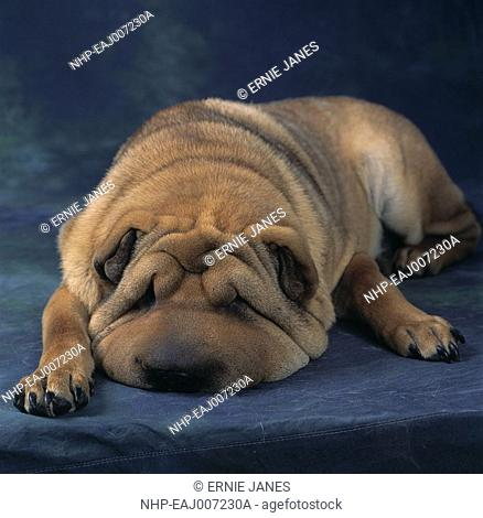 SHAR PEI DOG one-year-old, resting on bed