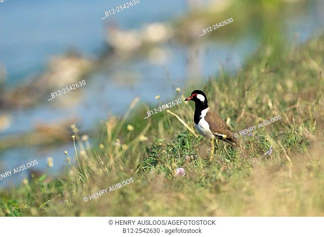Red-wattled Lapwing Vanellus indicus, Thailand
