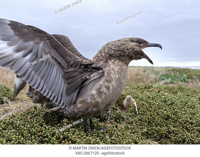 Pair with chick and typical wing display. Falkland Skua or Brown Skua (Stercorarius antarcticus, exact taxonomy is under dispute) are the great skuas of the...