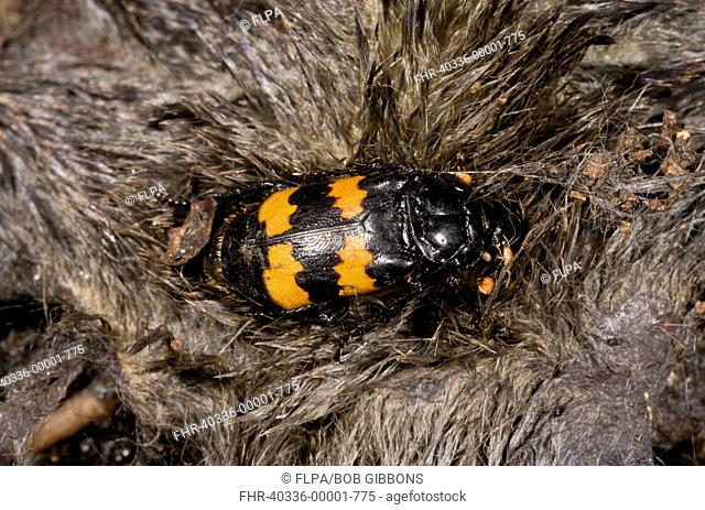 Burying Beetle (Nicrophorus interruptus) adult, on European Mole (Talpa europaea) carcass, France, August