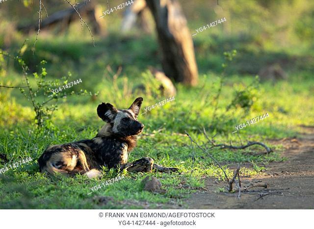 African Wild Dogs Lycaon pictus   Endangered species   Hluhluwe Imfolozi Game Reserve  Kwazulu-Natal, South Africa  November 2010