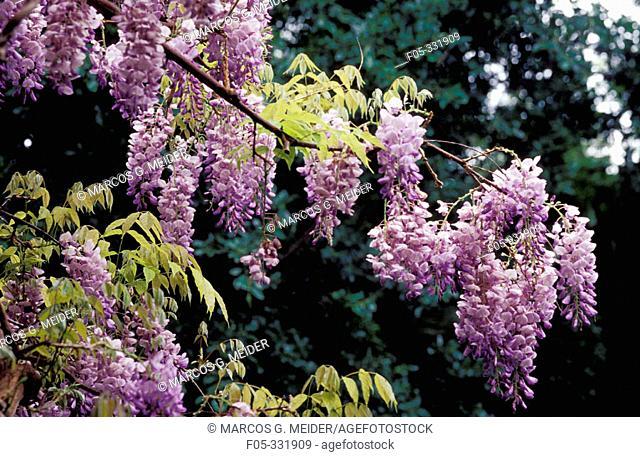 Chinese Wisteria (Wisteria sinensis). La Concepción Botanical Garden. Malaga province. Spain