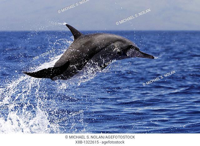 Adult Hawaiian Spinner Dolphin Stenella longirostris 'spinning' off Ka'anapali Beach, Mauii, Hawaii, USA  Pacific Ocean