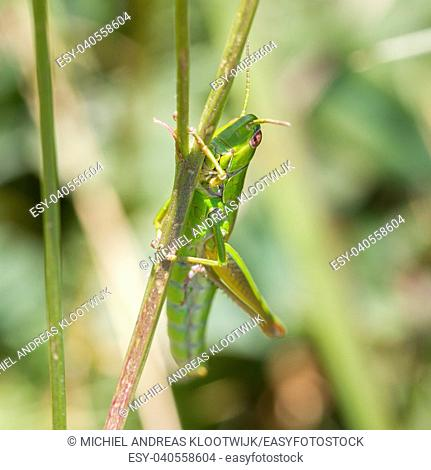 Small grasshopper in a garden in Austria