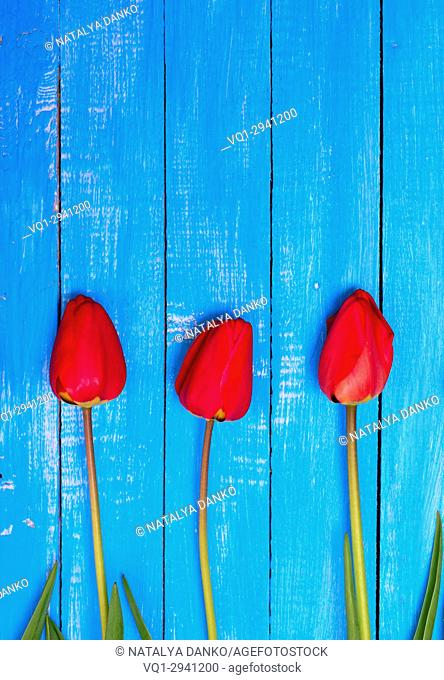 three blooming red tulips on a blue wooden background, empty space at the top