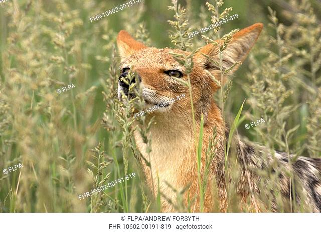 Black-backed Jackal Canis mesomelas adult, close-up of head, sniffing grass stems, Kgalagadi N P , Kalahari, South Africa