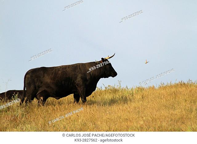 Fighting Bulls, Cáceres province, Extremadura, Spain