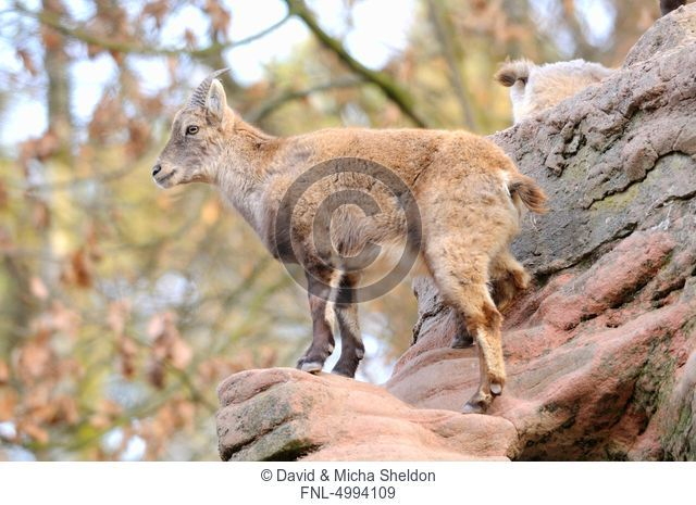 Capra ibex standing on rock